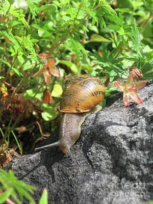 Photograph - Snail by PJ Boylan