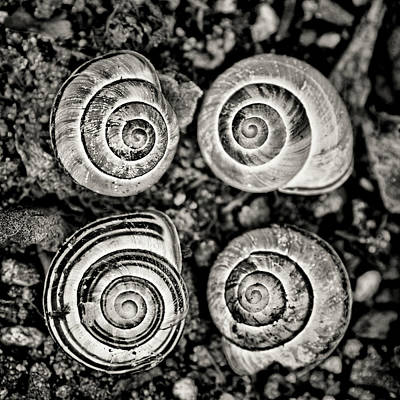 Photograph - Snail Shells Black And White by Peggy Collins
