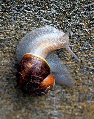 Photograph - Snail Snailing Along by Michele Avanti