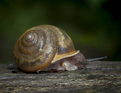 Photograph - Snail by Tyson and Kathy Smith