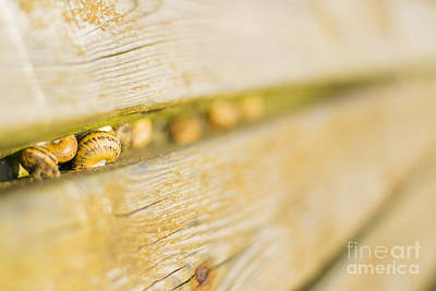 Photograph - Snails by Stefano Piccini