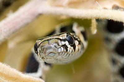 Snake Art Print by Andre Goncalves