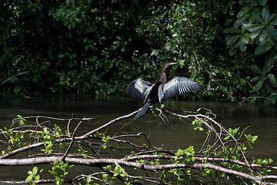Photograph - Snake Bird Perching by James David Phenicie