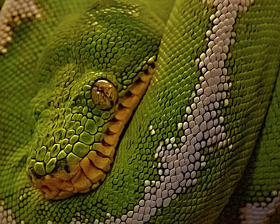 Snake Eye - Emerald Tree Boa Print by Mitch Spence
