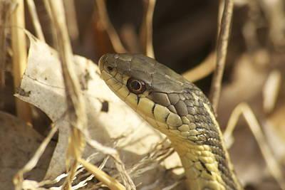 Garter Snake Photograph - Snake Eye by Michael Peychich