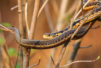 Photograph - Snake In A Bush by Joni Eskridge
