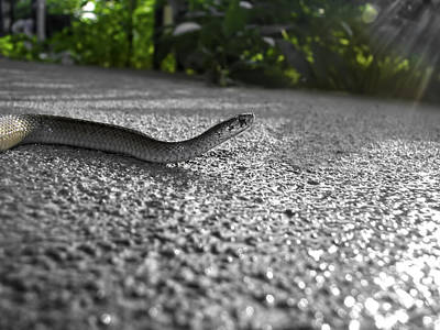 Photograph - Snake In The Sun by Amber Flowers