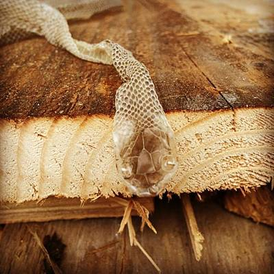 Reptiles Photograph - #snake #iphone #iphone5s #iphoneps by Jakub Horsky