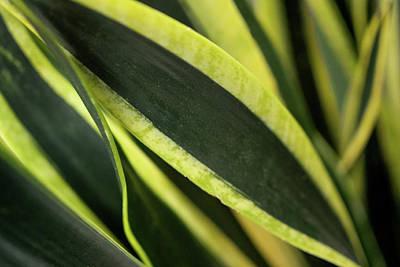 Photograph - Snake Plant by Crystal Hoeveler