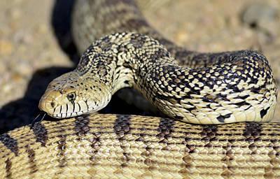 Photograph - Snake by Rae Ann  M Garrett