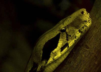 Snake Head Photograph - Snake by Svetlana Sewell