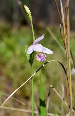 Photograph - Snakemouth Orchid Rose Pogonia by rd Erickson