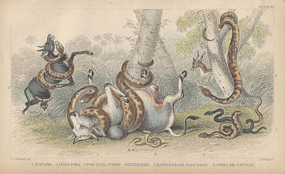 Boa Constrictor Drawing - Snakes by Dreyer Wildlife Print Collections