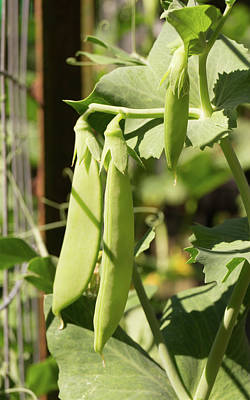 Photograph - Snap Peas On A Garden Fence by MM Anderson