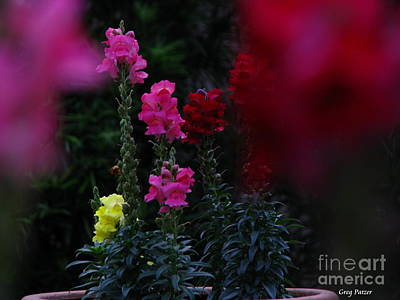 Snapdragon Art Print by Greg Patzer