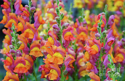Photograph - Snapdragon Rainbow by Rachel Cohen