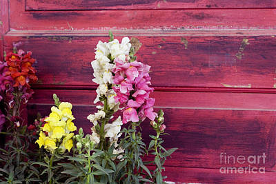 Photograph - Snapdragons And Red Door by Cindy Garber Iverson