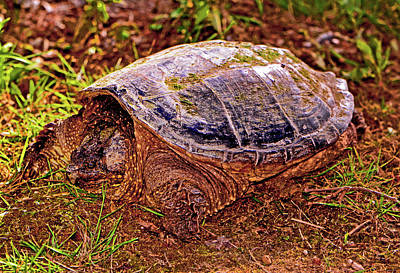 Photograph - Snapping Turtle 003 by George Bostian