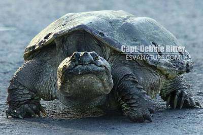 Photograph - Snapping Turtle 8597 by Captain Debbie Ritter