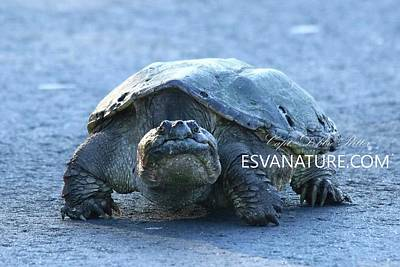 Photograph - Snapping Turtle Old Female by Captain Debbie Ritter