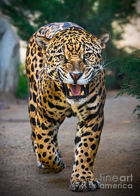 Strong America Photograph - Snarl by Jamie Pham
