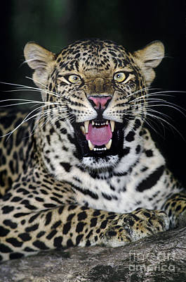Photograph - Snarling African Leopard Panthera Pardus Wildife Rescu by Dave Welling