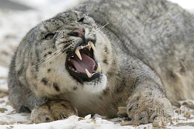 Snarling Snow Leopard Art Print by Jean-Louis Klein & Marie-Luce Hubert