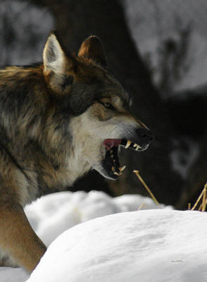 Mexican Wolf Photograph - Snarling Wolf by Ernie Echols