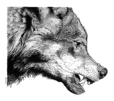 Drawing - Snarling Wolf by Scott Woyak
