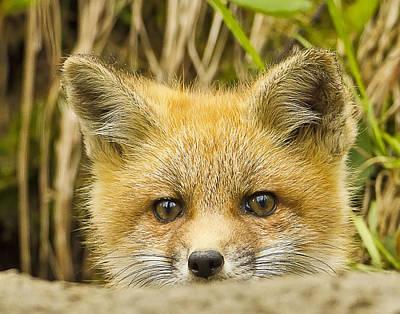Photograph - Fox Kit Sneak Peak by John Vose