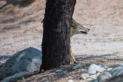Photograph - Sneaky Coyote  by Dan McManus