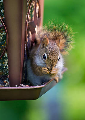 Sneaky Red Squirrel Art Print by Edward Myers