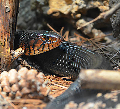 Ally Photograph - Sneaky Snake by Ally  White