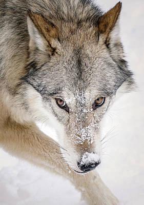 Photograph - Sneaky Wolf by Athena Mckinzie
