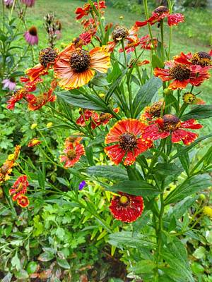 Photograph - Sneezeweed by Anne Sands