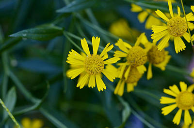 Photograph - Sneezeweed by Jack R Perry