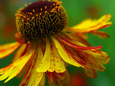 Sneezeweed Art Print by Juergen Roth