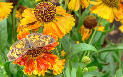 Sneezeweed Print by Shelley Neff