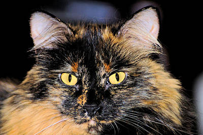 Of Calico Cats Photograph - Snickers by Cheryl Poland