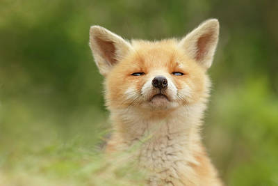 Sniffin'- Red Fox Smelling Some Fresh Air Art Print by Roeselien Raimond