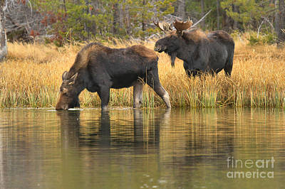 Moose In Water Photograph - Sniffing And Drikiing by Adam Jewell