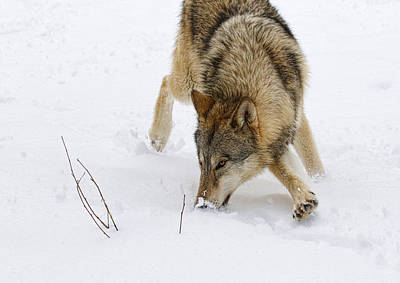 Photograph - Sniffing Snow by Steve McKinzie