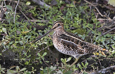 Photograph - Snipe Hunt by Mike Fitzgerald