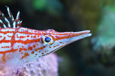 Photograph - Snooty The Hawkfish by Jim Zablotny