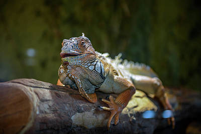 Photograph - Snoozing Iguana by Martina Thompson