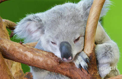 Photograph - Snoozing Koala Bear by Kathy Baccari