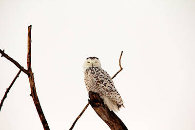 Photograph - Snoozing Snowy Owl by Debbie Oppermann
