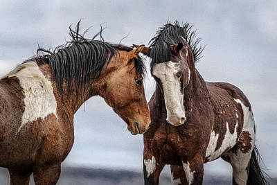 Wild Horse Photograph - Snorting Stallions by Wes and Dotty Weber