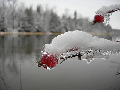 Photograph - Snow And Ice On Wild Rose Hip by Kent Lorentzen