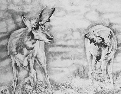 Yellowstone Drawing - Snow And Sage- Pronghorn by Susie Gordon